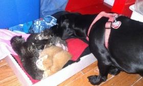お腹の大きな野良猫がやってきたて7匹の子猫を出産。父親役をかって出たのは犬だった。