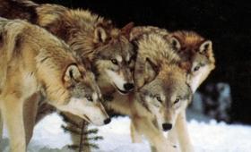 日本にはもういない・・・オオカミの群れ社会「ウルフパック」に関する興味深い事実