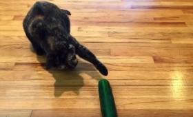 【気をつけろ】ネコにきゅうりをみせるイタズラでネコは一生トラウマに!絶対にやらないほうがいいらしい