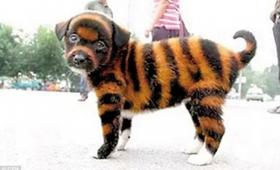 【これは酷い】なんじゃこりゃ!中国でトラにそっくりな犬「タイガー犬」を爆誕させる
