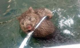 傷心か?泳ぐ習性のないウォンバットがぼっちで湖の中をプカプカ漂っていたところを漁師たちが救助(オーストラリア)