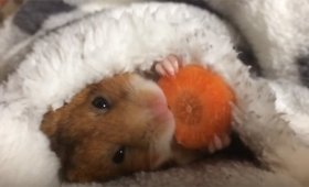 寝ながら食べてもニヤニヤできるのはハムスターだけ。お布団にくるまってニンジンを食べるハムスター