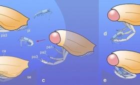 【沙羅曼蛇かよ】体がほぼ「眼球」というとんでもない古代生物発見される!1億6,000年前に生息