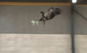 ドローンを空中で捕まえる「ワシ」を警察が訓練中