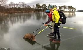 【カーリングかよ】氷の湖の上に取り残されたイノシシを救出する様子が滑稽すぎると話題に