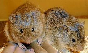 プレーリーハタネズミがヒトと同じように共感を示すことが判明