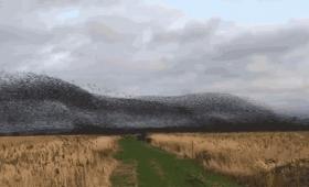 7万羽のムクドリの大群が押し寄せてくるぞー!