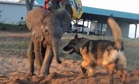 群れから見放され、孤児となった象の赤ちゃんを支えたのは、1匹の退役犬だった(南アフリカ)