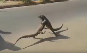よろしい、ならば決闘だ!白昼堂々路上で激しい戦いを展開する2匹のオオトカゲ(スリランカ)