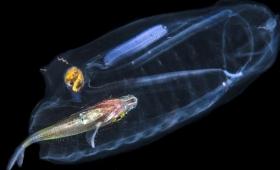 【不気味過ぎ】何だこれ完全にシースルーの深海生物発見!「消化」の様子もわかる