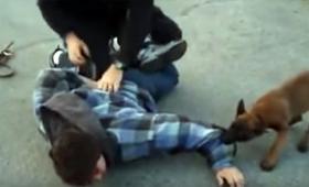 たった生後14週で・・・犯人を追跡し捕獲する警察犬の訓練風景