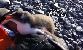 ペンギンの赤ちゃん、はじめての人間。まずは温めてみる。