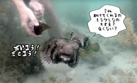 魚だって仲間を思う気持ちがある?網に捕らわれたフグのそばから片時も離れず、救助を待ち続けたフグ