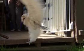赤ちゃんフクロウが「飛びたいっ!」と懸命に飛ぶ練習する姿