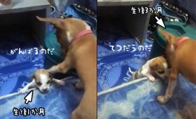 まだ小さいけど君よりはおにいさんだし。子犬が子犬を助ける癒され度マキシマム動画