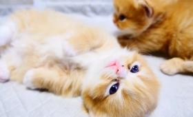 毛玉感炸裂!猫の本能に抗えなかったマンチカンの猫たちの日常