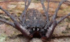 世界三大奇虫、ウデムシの育児映像(鮮明動画閲覧注意)