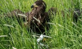 ワシを訓練して不審なドローンを空中で捕獲するプロジェクト、飛行場でテストを実施