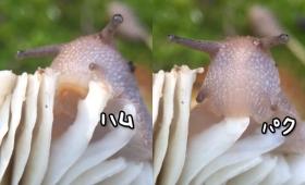 カタツムリのスローフード生活。ゆっくりとキノコを召し上がるその姿に食生活を見直そうと思ったり思わなかったり