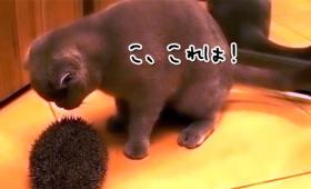 こ、これは!ハリネズミを見てひらめいた猫の行動とは、この後すぐ!