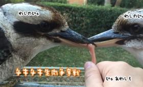 三つ巴でいいのか?野生のワライカワセミが餌を取り合い拮抗状態に。人間も参戦してみたところ・・・