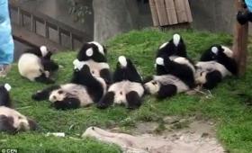 【これはズルい】赤ちゃんパンダのミルク奪い合いがたまらなくカワイイ