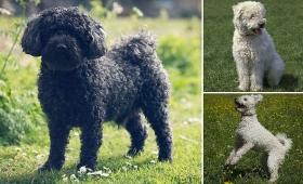 【朗報】プードルのような新種犬「プーミ―」が正式に犬種として認められるかもしれないぞ!