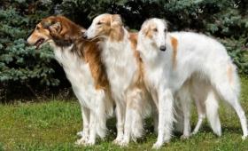 魅惑の大型犬!ロシア原産の俊敏なる巨人、ボルゾイに関する10の事実