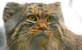 みんな違ってみんな良いではないか!世界の珍しい猫や犬の仲間たち 28種