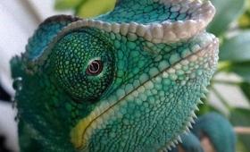 こう見えて人なつっこい。カラーバリエーションが豊富なパンサーカメレオンにズームイン(爬虫類)