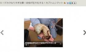 【デカ過ぎ!】ヤフオクに「巨大化するカブトムシマット」が販売!不気味過ぎると話題に
