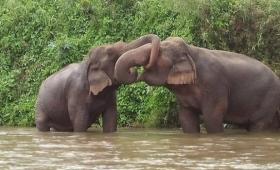 人に酷使され働くことをボイコットした象だが、第二の象生で人間の愛情と生涯の伴侶を得る(タイ)