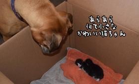 なんてかわいい子猫ちゃん!母性本能が一気に点火、誰よりも子猫を愛するボクサー犬の子育て日記