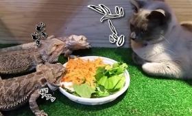 「き、緊張して食べられないけど~」トカゲたちの夕食監視官としての猫