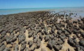 石ころ?いいえ違います。こいつら生命体です。海岸を埋め尽くすばかりに転がっているストロマトライト(オーストラリア)