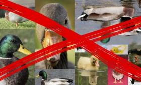 仕方ないことなのか…鳥インフルエンザでアヒル19万羽を殺処分