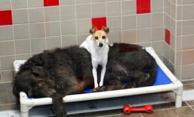 うちら離れられない仲やしぃ~。一緒に住んでいた大きな犬と小さな犬、保護された後も離れようとはしなかったので・・・(アメリカ)