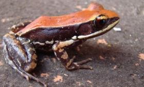 南インドに生息するカエルの粘液に含まれるペプチド「ウルミン」がA型インフルエンザウイルスを破壊する