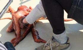 ミズダコがカニ漁師を出し抜いて籠に入ったカニを食べてしまうまでの一部始終