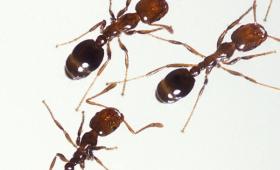 【日本ヤバイ】名古屋でも猛毒「ヒアリ」発見される!全国に蔓延する?