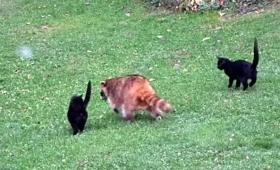 裏庭に舞い降りた守護天使たち。盲目のアライグマと2匹の黒猫の物語