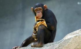 【超頭いい!】チンパンジーは釣りをするらしいぞ!道具を使って狩りをする動物3選!