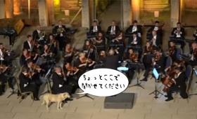 ちょっとここで聞いてきます。オーケストラの演奏中に犬が乱入。しっかりと腰を下ろして特等席で音楽鑑賞(トルコ)