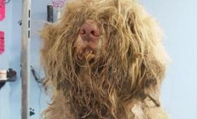 毛むくじゃらの謎生物は犬だった。発見者がSNSで呼びかけトリマーが緊急お手入れ。