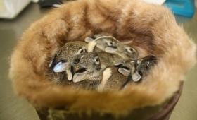 動物に動物のぬくもりを。使わなくなった毛皮を傷ついた野生動物たちの為に利用しぬくもりを与えるキャンペーン(アメリカ)