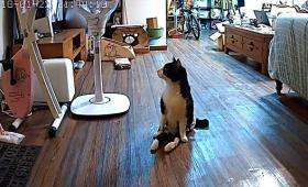 下半身不随の猫、ご主人の帰宅を聞きつけてお出迎えに