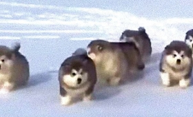 ころころころりん、みんな元気に走り回るよ!モコモコまんまるアラスカンマラミュートの子犬たち
