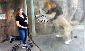 ライオンがおねだりカシカシ。女性の乗っているスクーターに興味を持った(アメリカ)