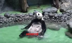 こ、これは!ありのままの姿で…お宝映像、パンダの入浴シーン