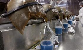 カブトガニはもう無駄に青い血を流さなくてよいのだ。カブトガニの採血が段階的に廃止されることが明らかに(アメリカ)